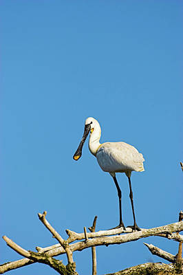 Eurasian Spoonbill Or Common Spoonbill Poster by Martin Zwick