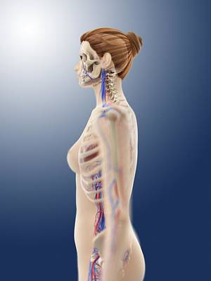 Female Anatomy, Artwork Poster by Science Photo Library