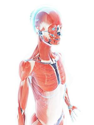 Female Muscular System Poster by Sebastian Kaulitzki