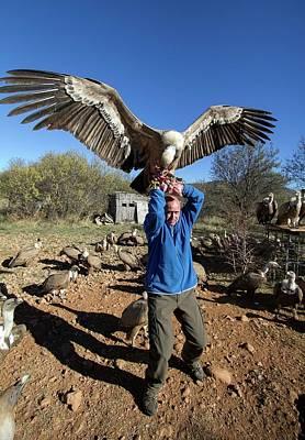 Griffon Vulture Conservation Poster