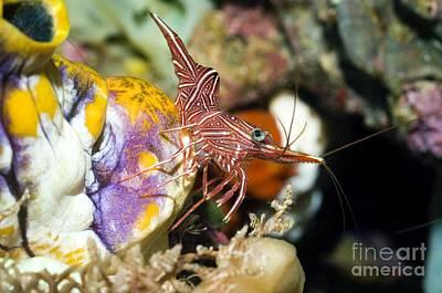 Hingebeak Shrimp On A Seasquirt Poster by Georgette Douwma