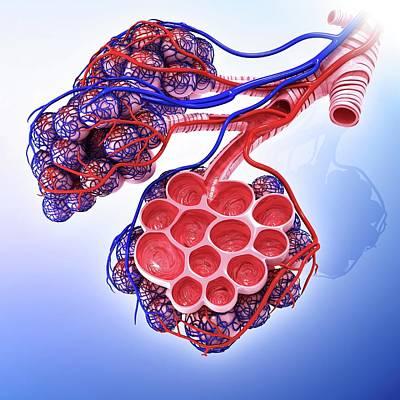 Human Alveoli Poster by Pixologicstudio