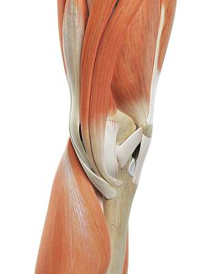 Human Knee Muscles Poster by Sciepro