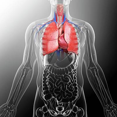 Human Lungs And Heart Poster