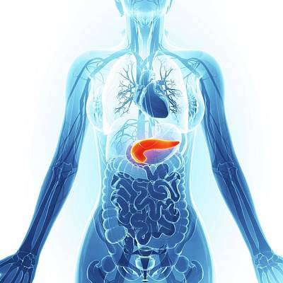 Human Pancreas Poster
