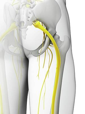 Human Sciatic Nerve Poster