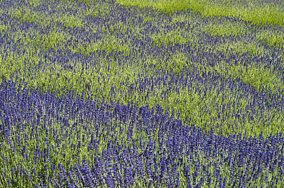 Lavendar Field Rows Of White And Purple Flowers Poster