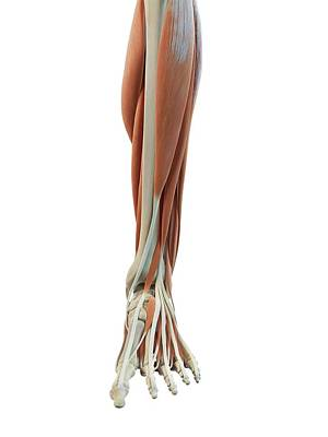 Leg And Foot Muscles Poster by Sciepro