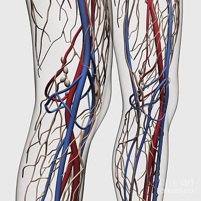 Medical Illustration Of Arteries, Veins Poster by Stocktrek Images