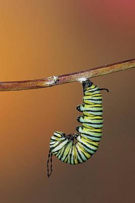 Monarch (danaus Plexippus Poster by Richard and Susan Day