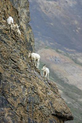 Mountain Goats Along Kongakut River Poster
