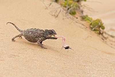 Namaqua Chameleon Catching Prey Poster by Tony Camacho