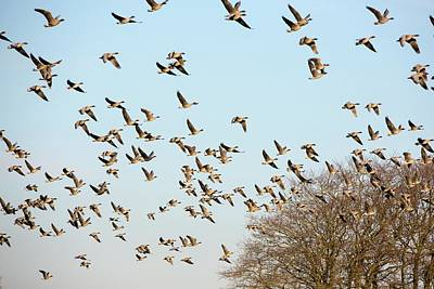 Pink Footed Geese (anser Brachyrhynchus) Poster by Ashley Cooper