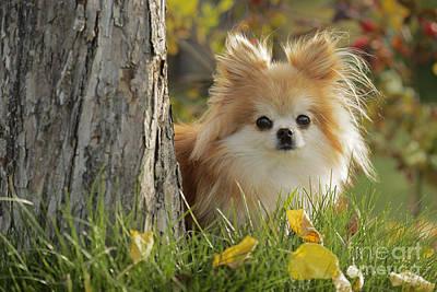 Pomeranian Dog Poster by Rolf Kopfle