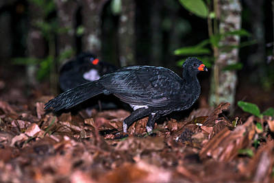 Red-billed Curassow Crax Blumenbachii Poster by Leonardo Mer�on