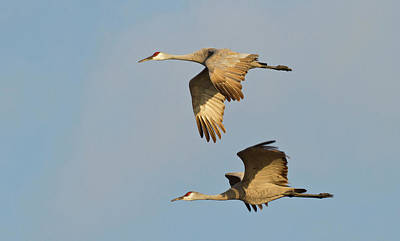 Sandhill Cranes (grus Canadensis Poster by William Sutton