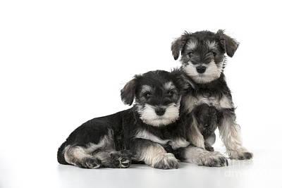 Schnauzer Puppy Dogs Poster