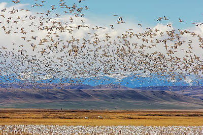 Snow Geese During Spring Migration Poster by Chuck Haney