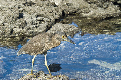 Striated Heron Poster by William H. Mullins
