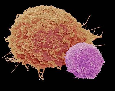 T Lymphocyte And Cancer Cell Poster