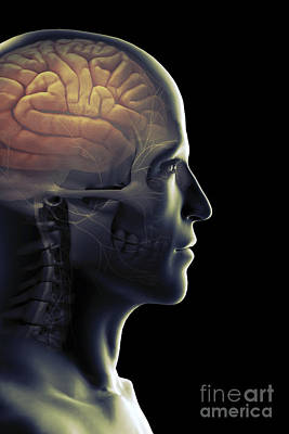 The Human Brain Poster by Science Picture Co