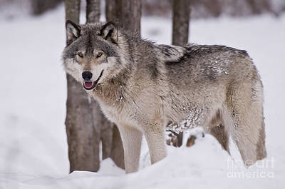 Timber Wolf In Winter Poster by Wolves Only