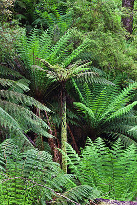 Tree Fern In Melba Gully, Great Otway Poster by Martin Zwick