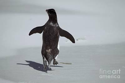 Western Rockhopper Penguin Poster