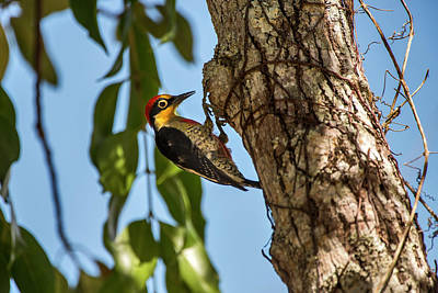 Yellow-fronted Woodpecker  Melanerpes Poster by Leonardo Mer�on