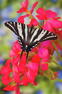 Zebra Swallowtail Butterfly, Eurytides Poster by Darrell Gulin
