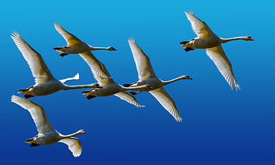 Mute Swans Poster by Brian Stevens