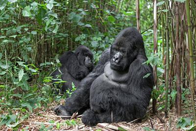 Africa, Rwanda, Volcanoes National Park Poster