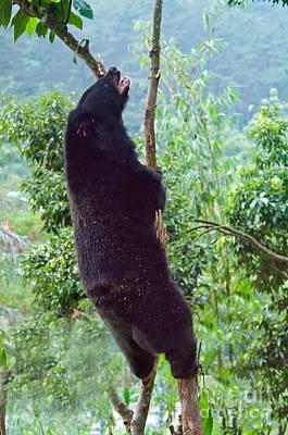 Asian Black Bear Poster by Mark Newman