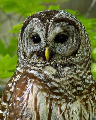 Barred Owl Poster by Dan Ferrin