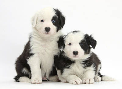 Border Collie Pups Poster by Mark Taylor