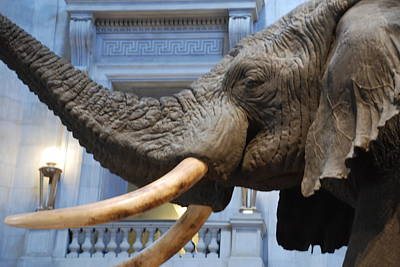 Bull Elephant In Natural History Rotunda Poster