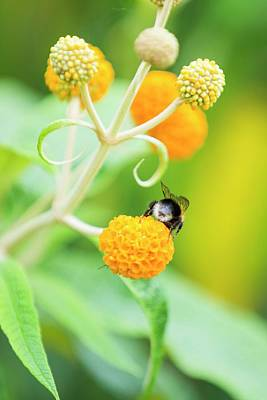 Bumble Bee Gathering Pollen Poster by Ashley Cooper