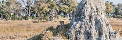 Cheetah Acinonyx Jubatus Resting Poster by Panoramic Images