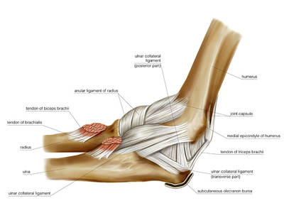 Elbow Joint Poster