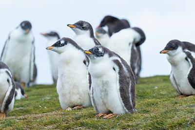 Gentoo Penguin (pygoscelis Papua Poster by Martin Zwick