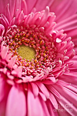 Gerbera Flower Poster