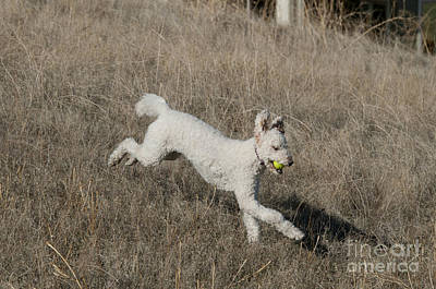 Goldendoodle Running Poster by William H. Mullins