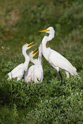 Great Egret (ardea Alba Poster