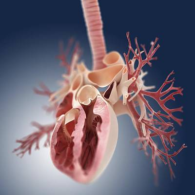 Heart And Lungs, Artwork Poster by Science Photo Library