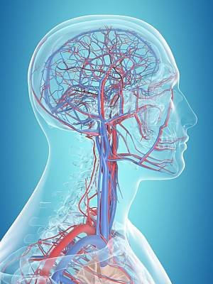 Human Vascular System Poster by Sciepro
