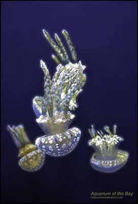 Jellyfish Of Aquarium Of The Bay San Francisco Poster