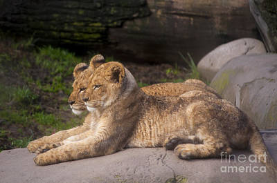 Lion Cubs Poster by Mandy Judson