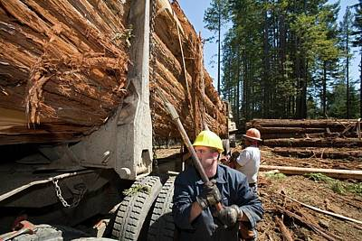 Logging Redwood Trees Poster by Jim West