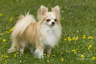 Long-haired Chihuahua Poster