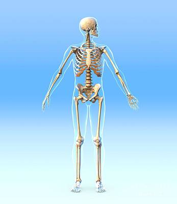 Male Skeleton, Artwork Poster